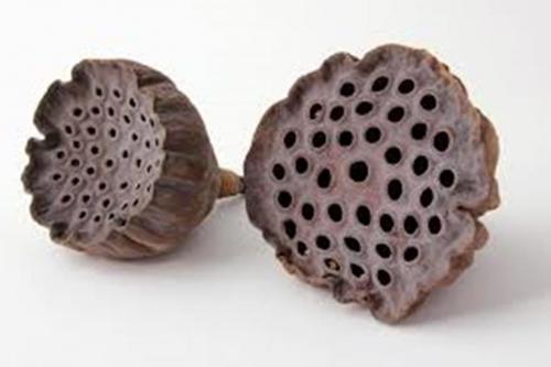 Dried Trypophobic Lotus Pod 5