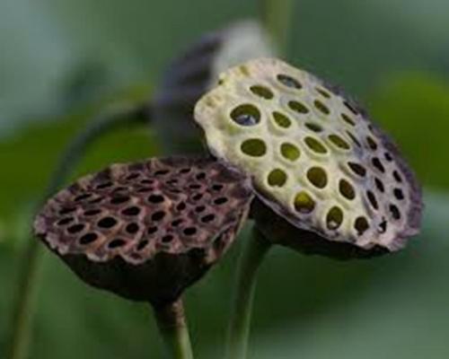 Dried Trypophobic Lotus Pod 6