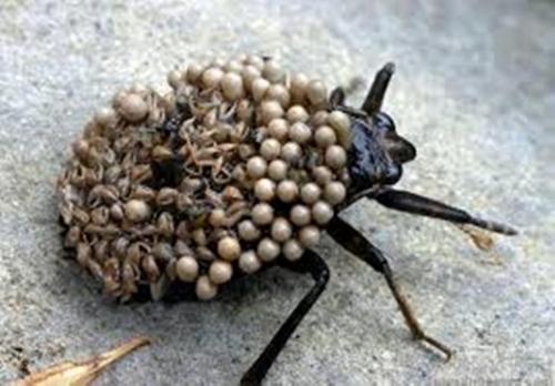Trypophobia Waterbug