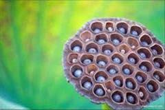Dried Trypophobic Lotus Pod 10