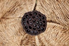 Dried Trypophobic Lotus Pod 11