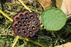 Dried Trypophobic Lotus Pod 4
