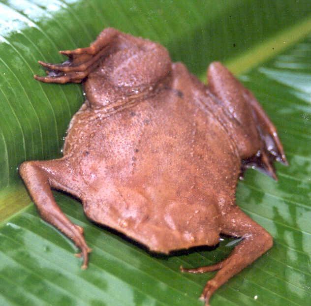 Surinam TOad Triggers Trypophobia